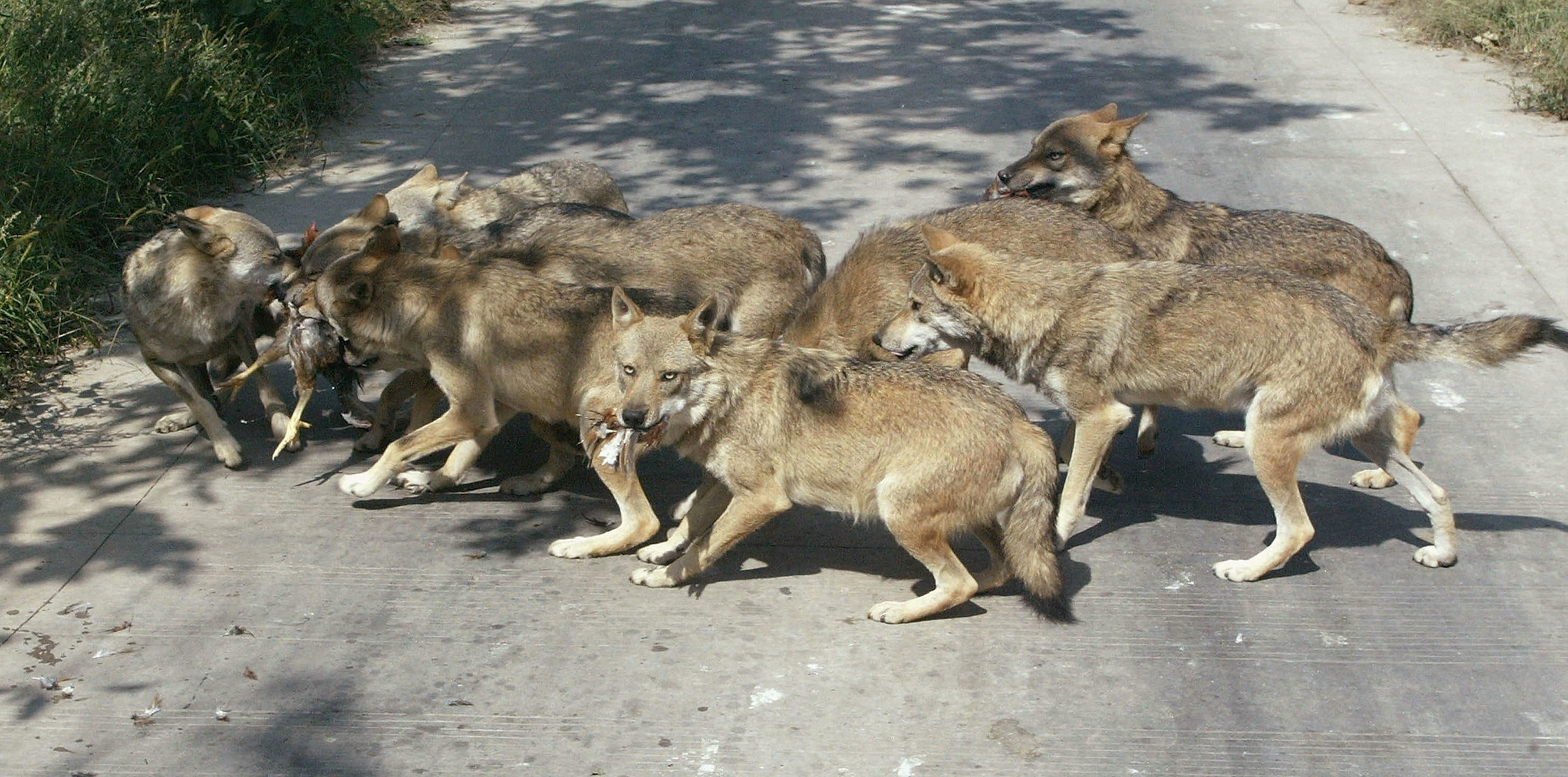 Even Wolves Hate Scott Stapp