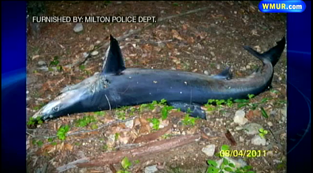 Blue Shark Found In New Hampshire Woods