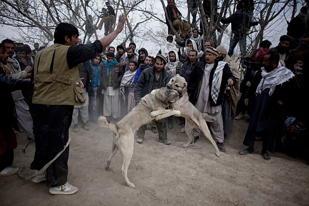 Dog Fights Held in Kabul