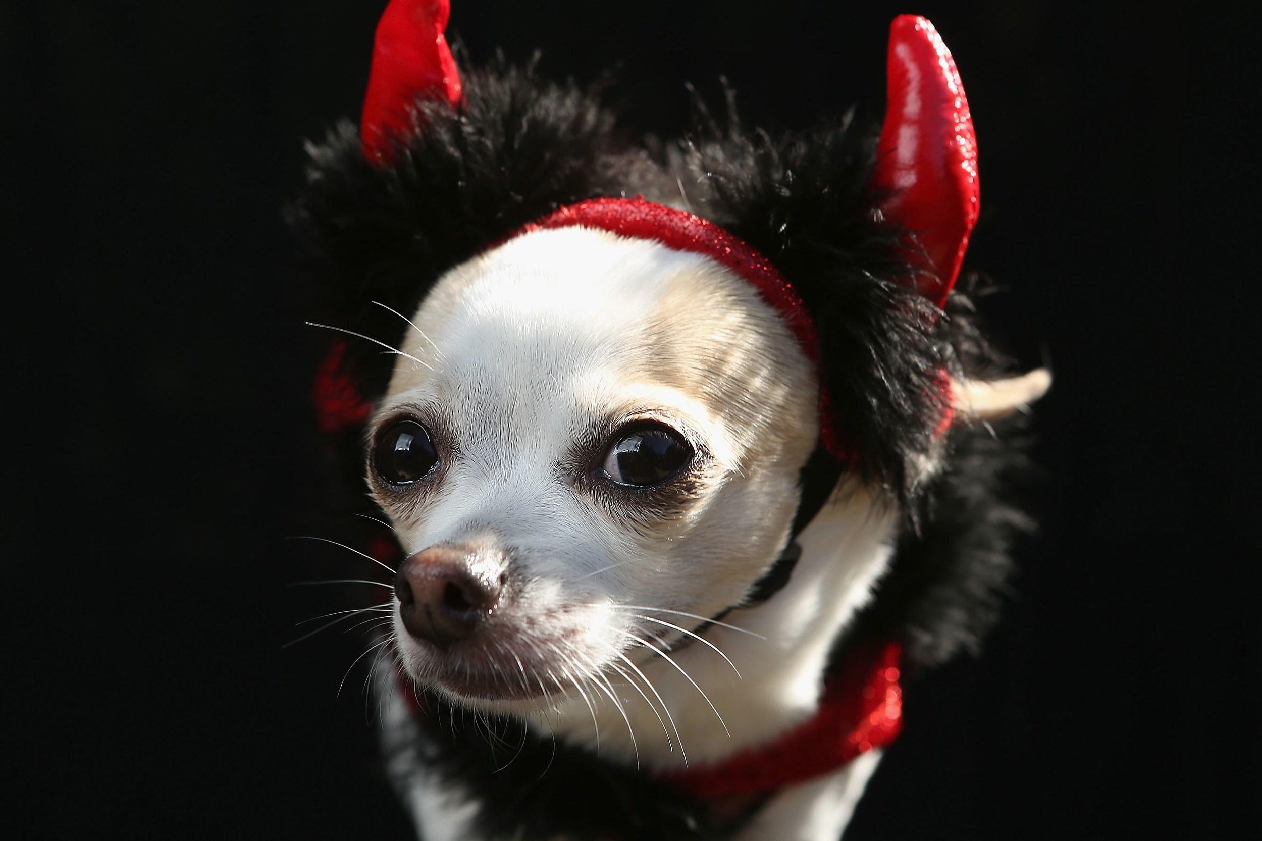Devil Chihuahua