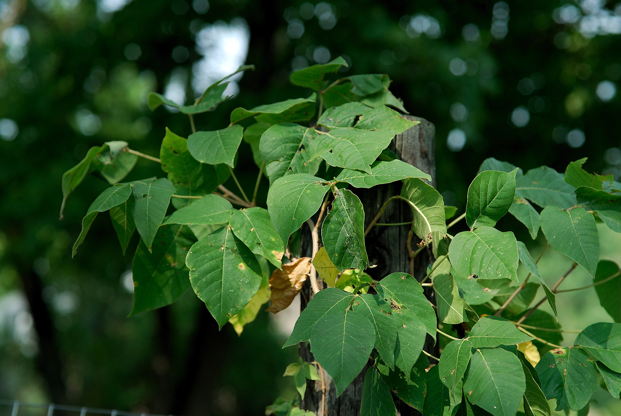 4 Poisonous Plants To Avoid In Michigan